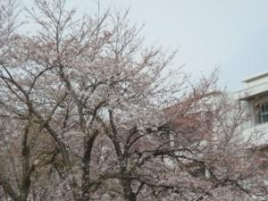 習志野高校の桜
