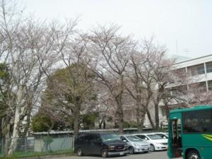 習志野高校桜